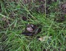 More fresh dog fouling on the RSP Nature reserve public foot path